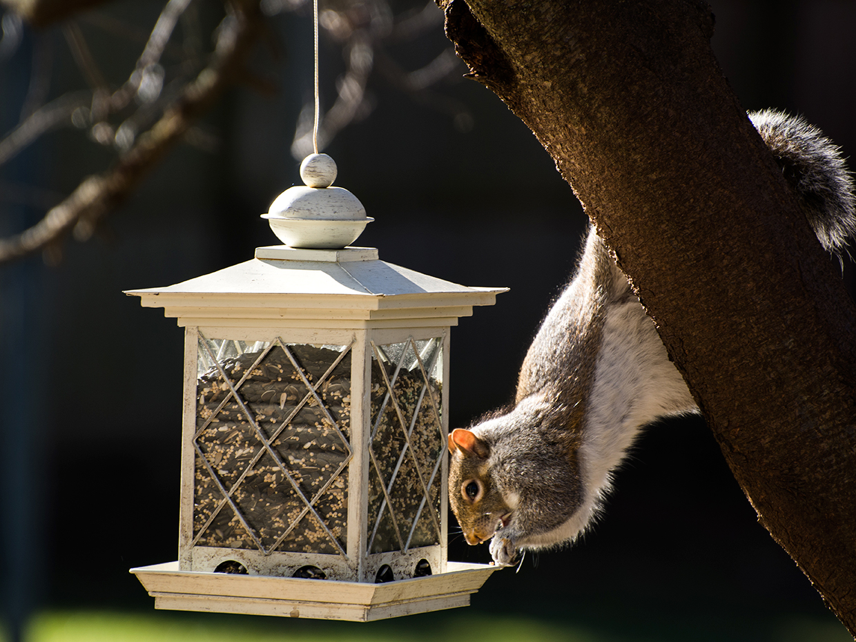 Photograph of an intelligent looking squirrel going after some bird feed.